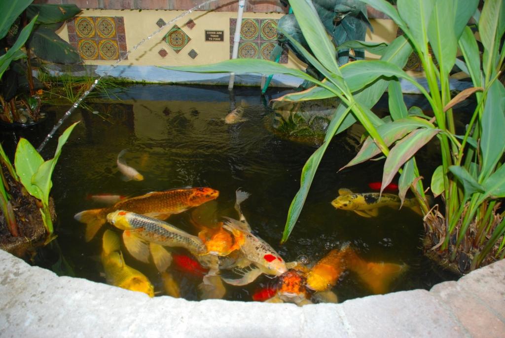 Koi-Fish-Avalon-Hotel