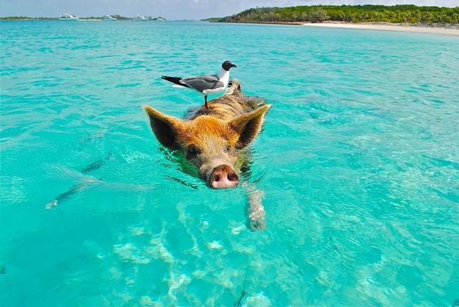 Pig Island, Bahamas, Swimming Pigs