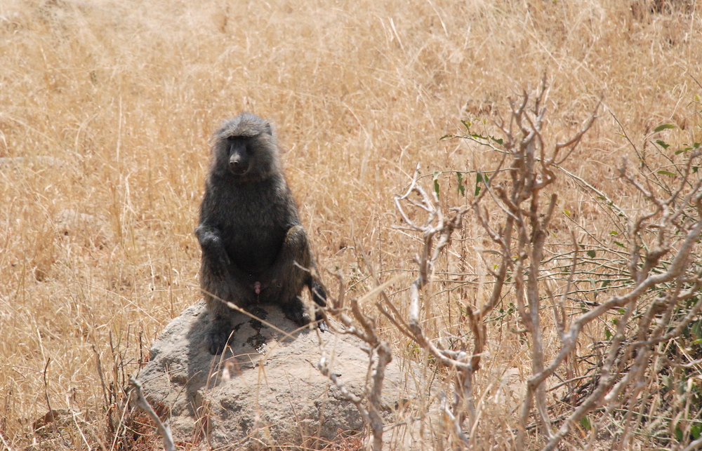 baboon-penis-serengeti