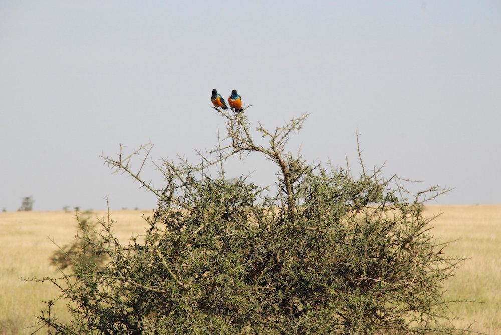 superb-starling-serengeti