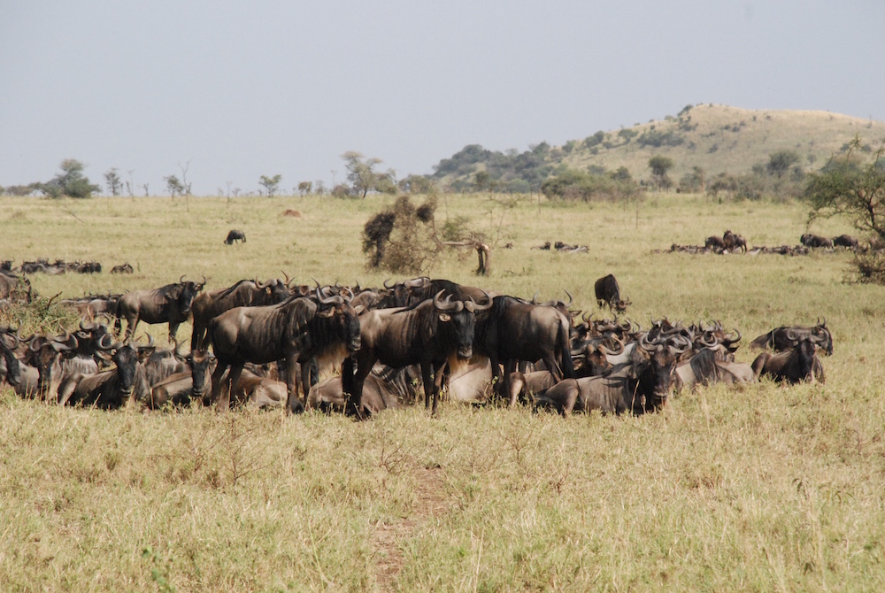 wildebeest-great-migration-serengeti