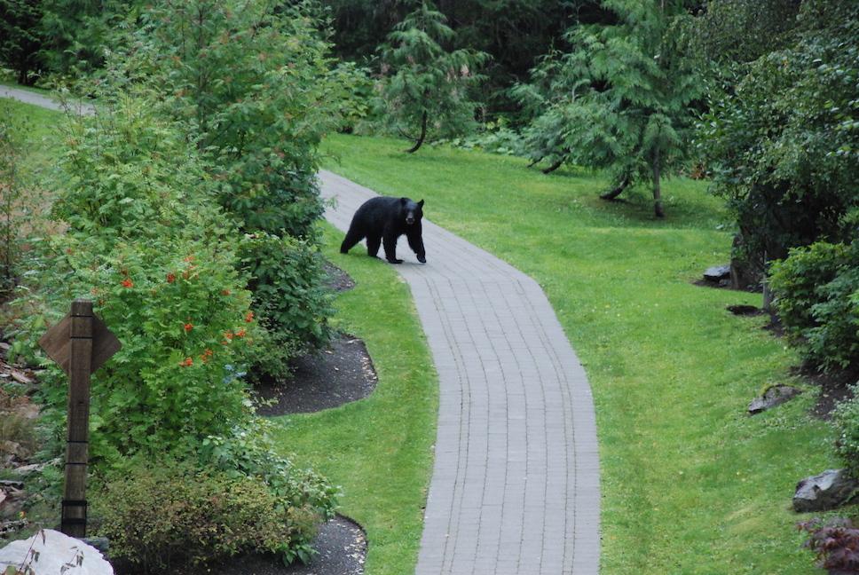 black-bear-whistler