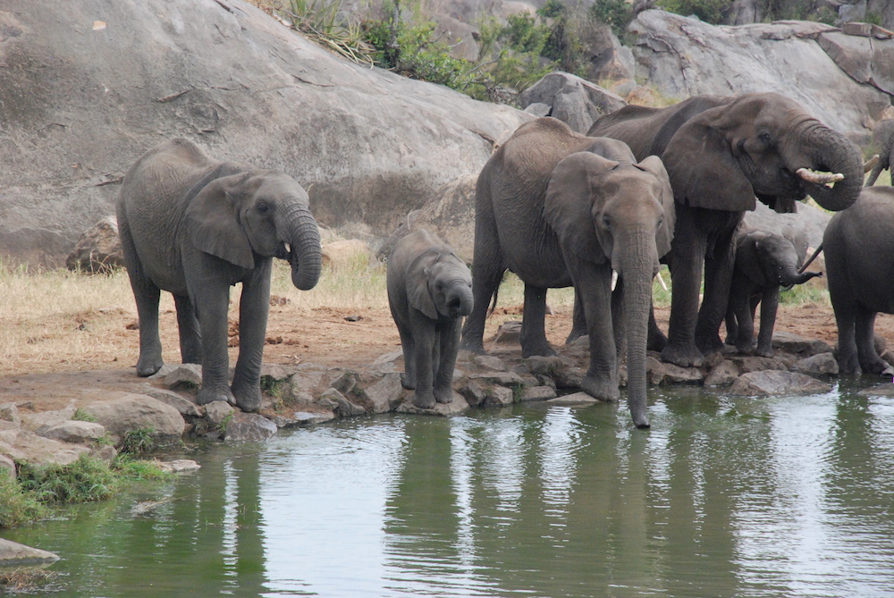 elephants-four-seasons-serengeti
