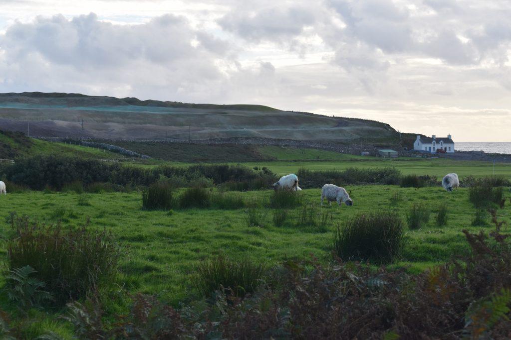 sheep-waterville