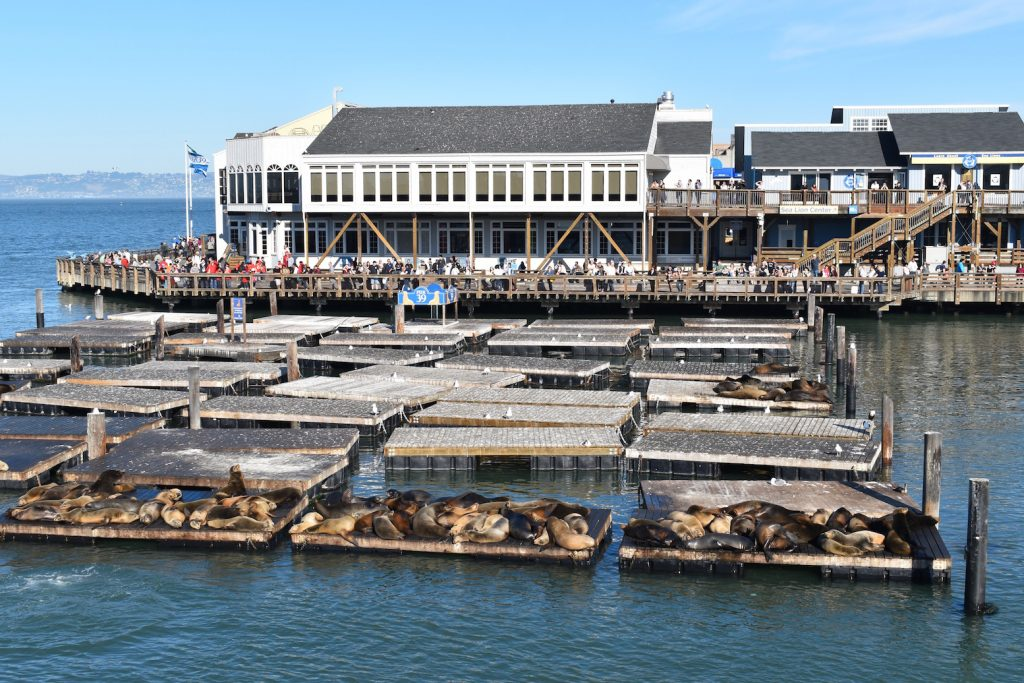 sea-lions-san-francisco